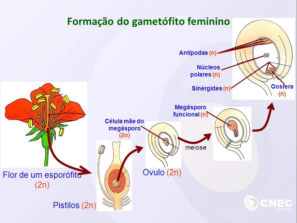 Formação do gametófito feminino Flor de um esporófito (2n) Pistilos (2n) Óvulo (2n) Célula mãe do megásporo (2n) meiose Megásporo funcional (n) Antípo