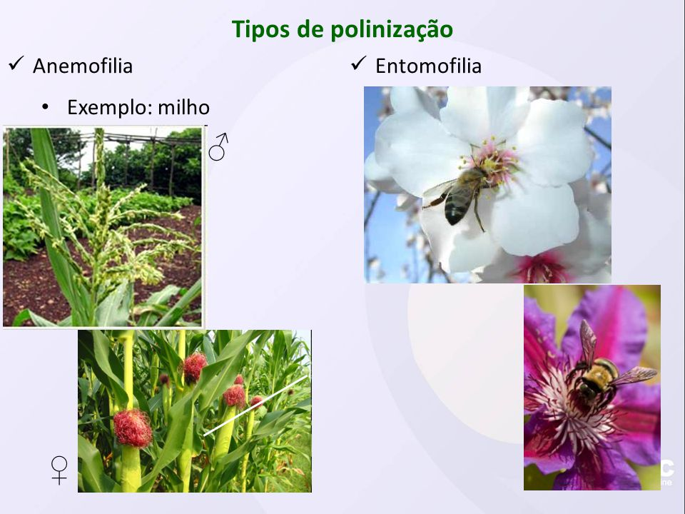 Tipos de polinização Anemofilia Exemplo: milho Entomofilia
