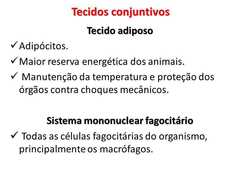 Tecido adiposo Adipócitos. Maior reserva energética dos animais. Manutenção da temperatura e proteção dos órgãos contra choques mecânicos. Sistema mon