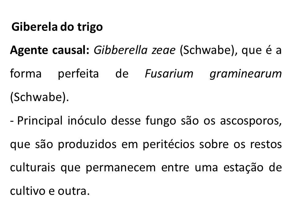 Giberela do trigo Agente causal: Gibberella zeae (Schwabe), que é a forma perfeita de Fusarium graminearum (Schwabe). - Principal inóculo desse fungo