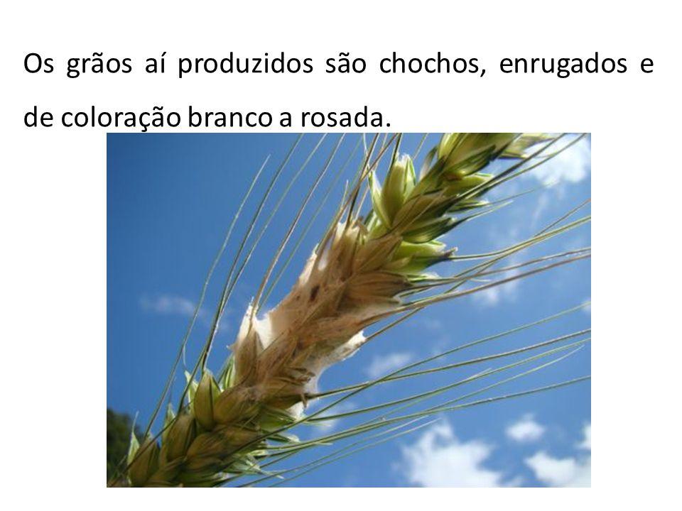 Os grãos aí produzidos são chochos, enrugados e de coloração branco a rosada.