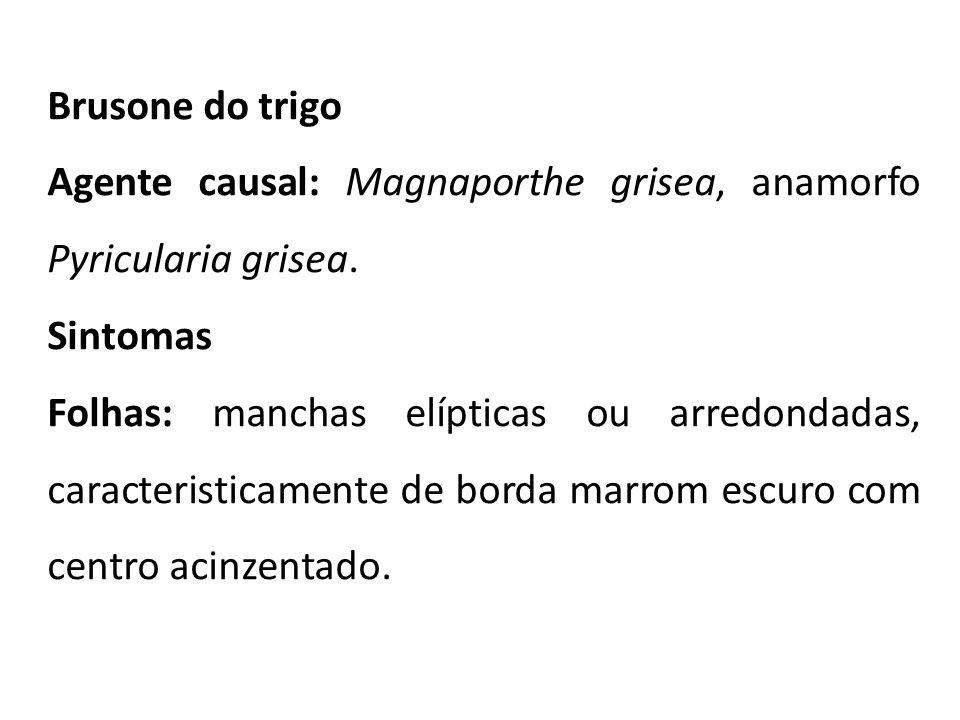 Brusone do trigo Agente causal: Magnaporthe grisea, anamorfo Pyricularia grisea. Sintomas Folhas: manchas elípticas ou arredondadas, caracteristicamen