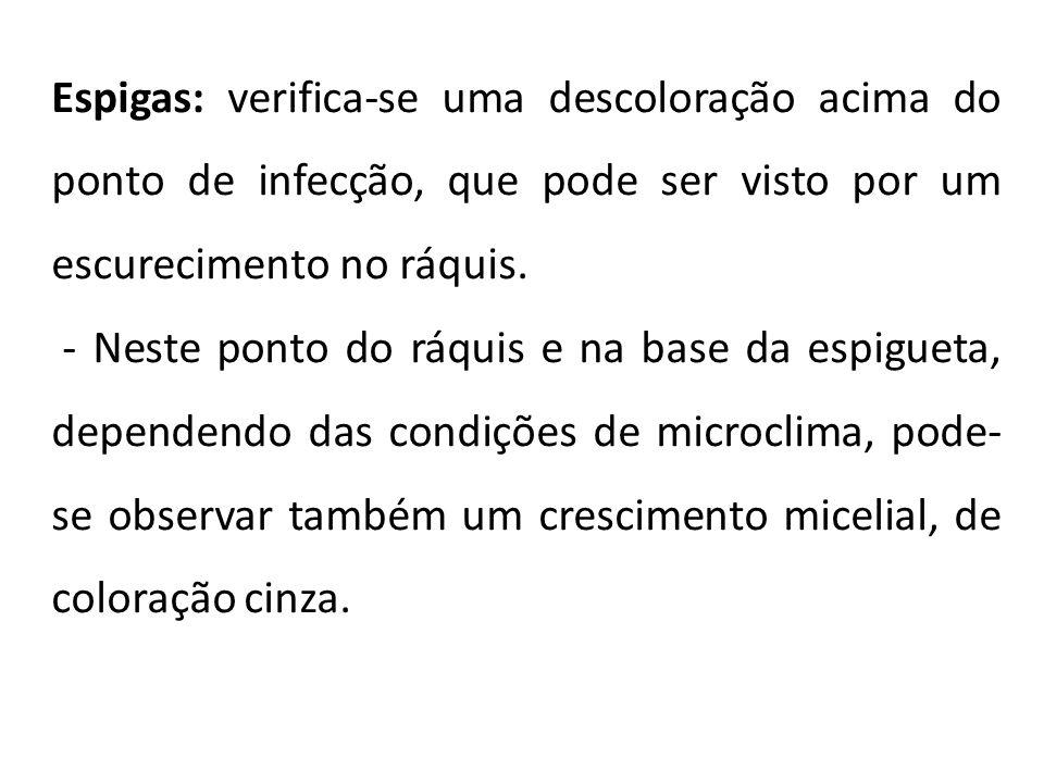 Espigas: verifica-se uma descoloração acima do ponto de infecção, que pode ser visto por um escurecimento no ráquis. - Neste ponto do ráquis e na base