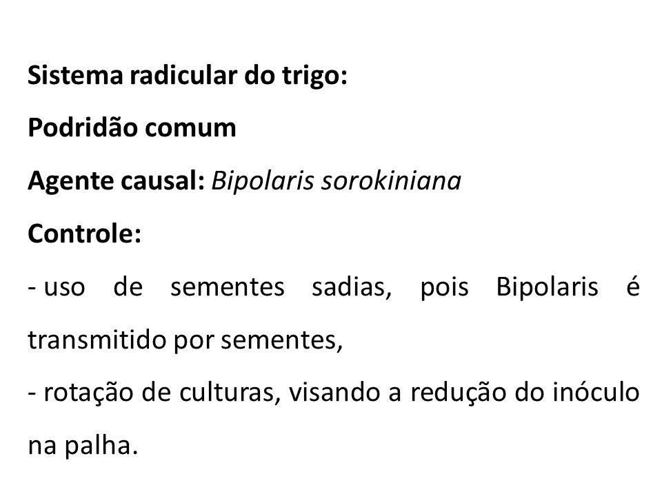 Sistema radicular do trigo: Podridão comum Agente causal: Bipolaris sorokiniana Controle: - uso de sementes sadias, pois Bipolaris é transmitido por s