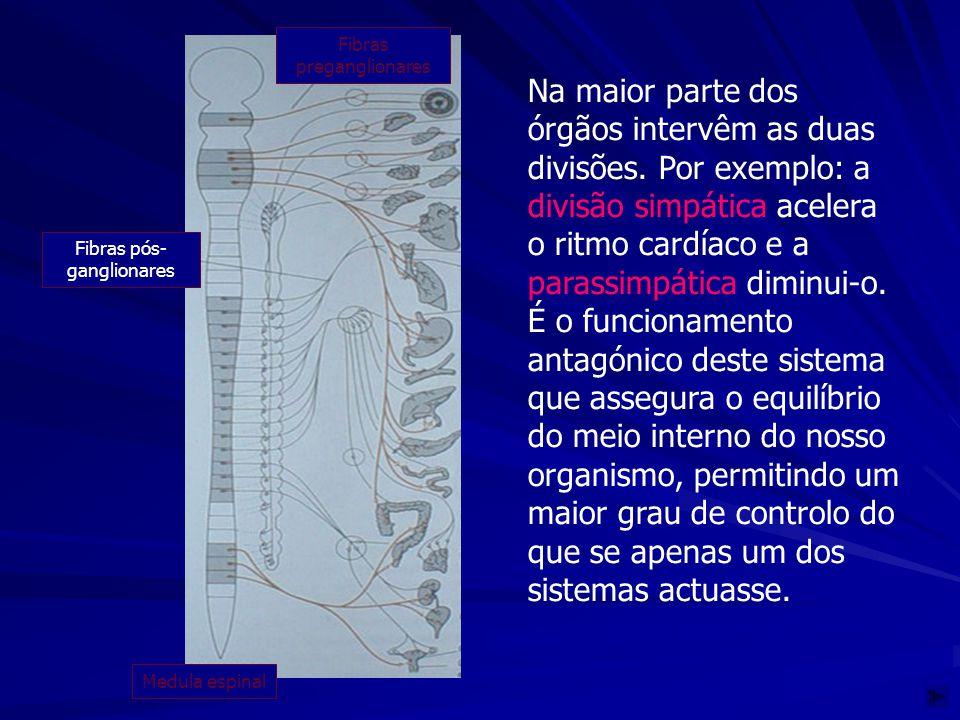 Na maior parte dos órgãos intervêm as duas divisões. Por exemplo: a divisão simpática acelera o ritmo cardíaco e a parassimpática diminui-o. É o funci