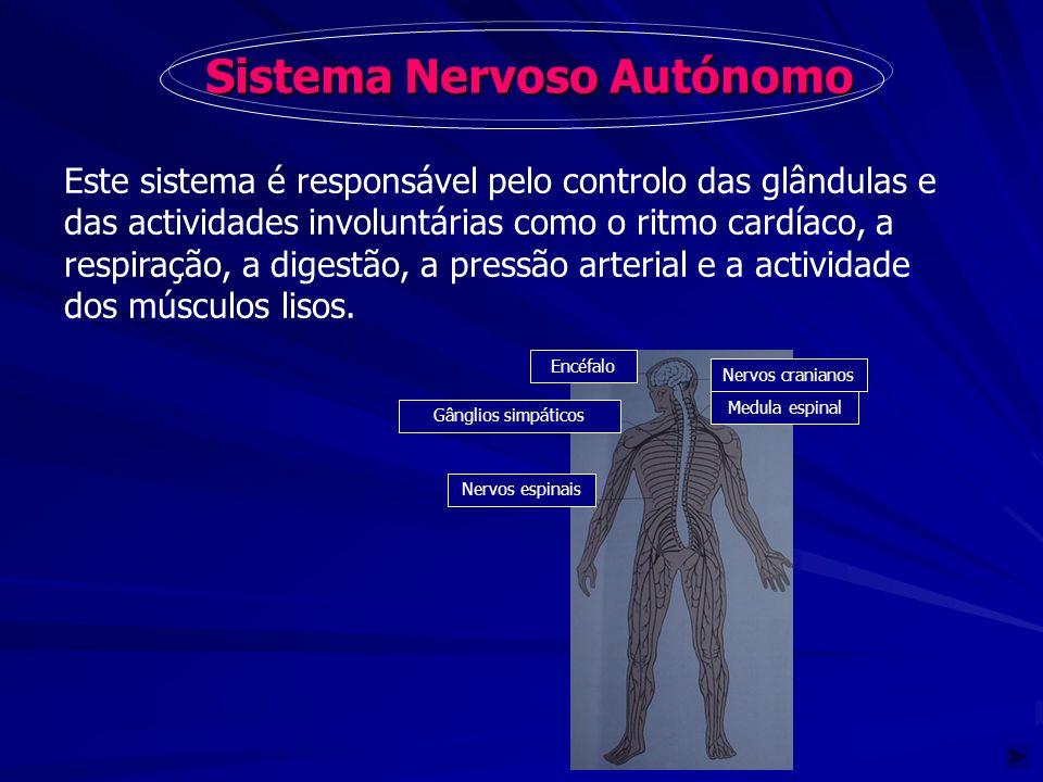 Sistema Nervoso Autónomo Este sistema é responsável pelo controlo das glândulas e das actividades involuntárias como o ritmo cardíaco, a respiração, a