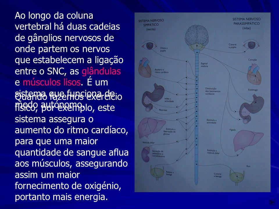 Ao longo da coluna vertebral há duas cadeias de gânglios nervosos de onde partem os nervos que estabelecem a ligação entre o SNC, as glândulas e múscu