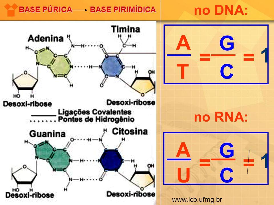 A T G C == 1 A U G C == 1 no DNA: no RNA: BASE PÚRICA BASE PIRIMÍDICA www.icb.ufmg.br