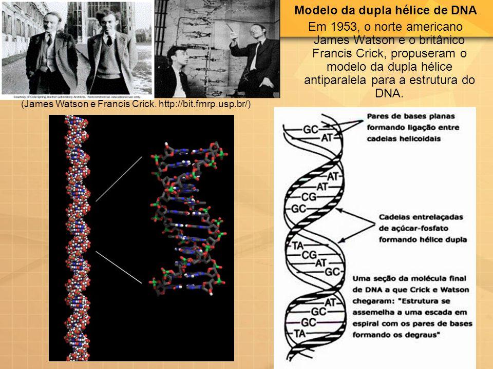Modelo da dupla hélice de DNA Em 1953, o norte americano James Watson e o britânico Francis Crick, propuseram o modelo da dupla hélice antiparalela pa