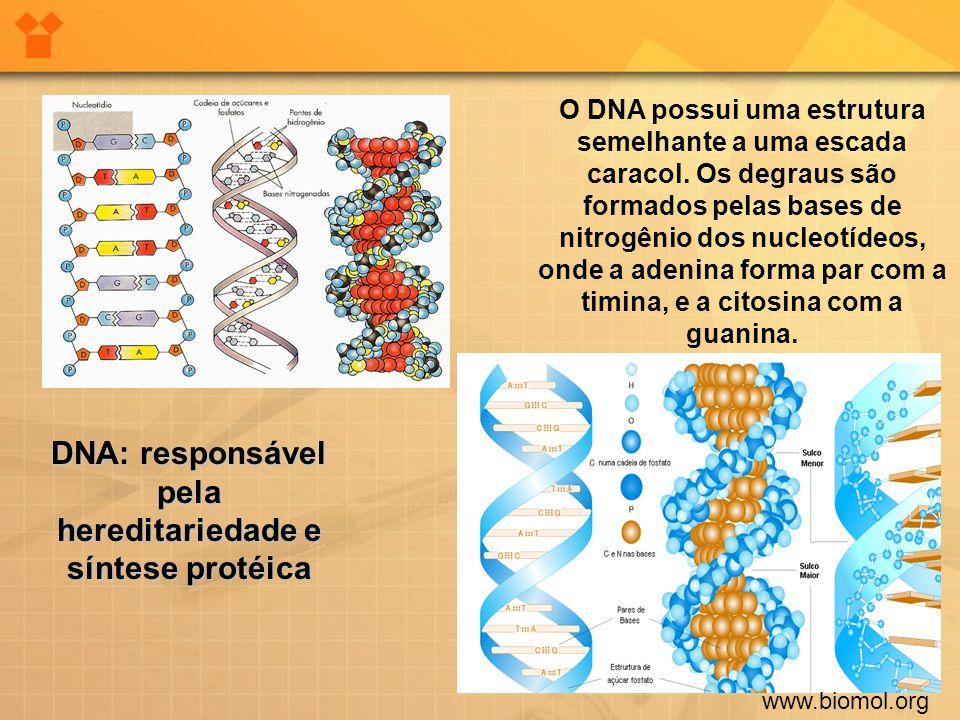 www.biomol.org O DNA possui uma estrutura semelhante a uma escada caracol. Os degraus são formados pelas bases de nitrogênio dos nucleotídeos, onde a