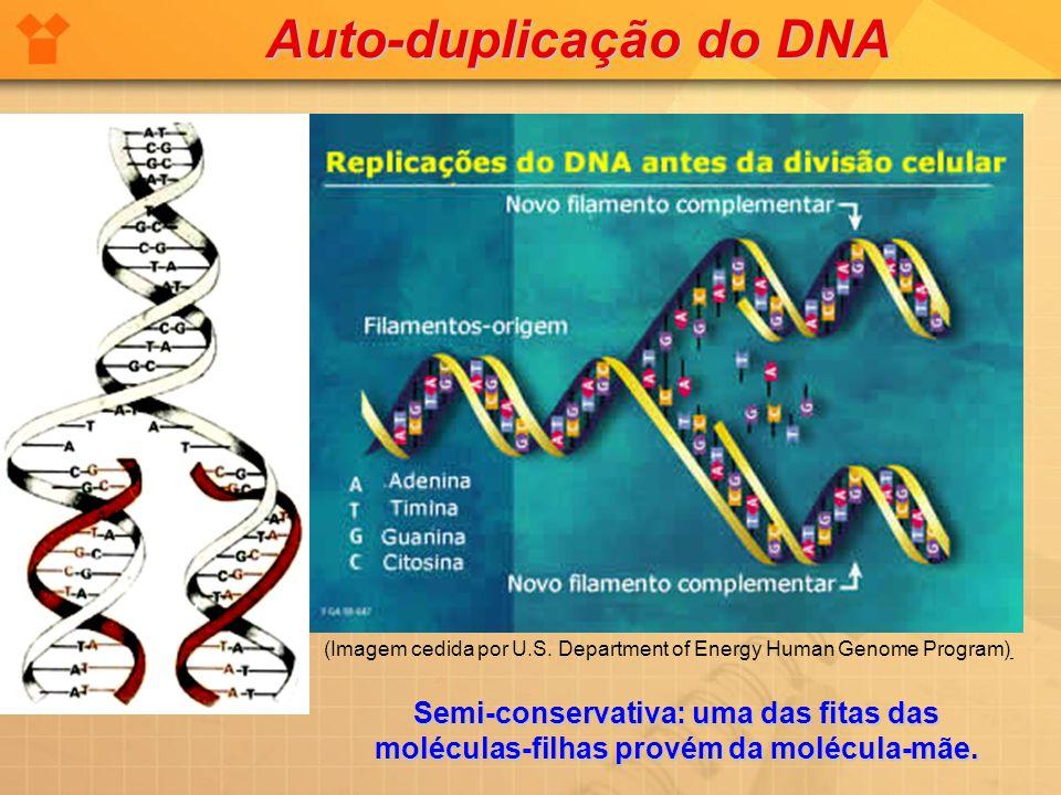 Auto-duplicação do DNA Semi-conservativa: uma das fitas das moléculas-filhas provém da molécula-mãe. (Imagem cedida por U.S. Department of Energy Huma