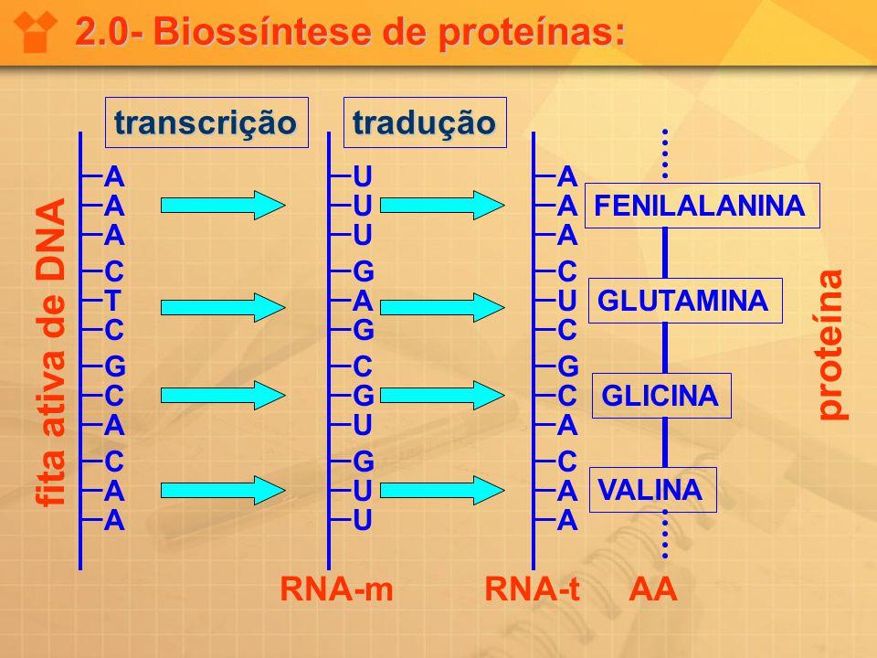 2.0- Biossíntese de proteínas: A A A C T C G C A C A A U U U G A G C G U G U U A A A C U C G C A C A A FENILALANINA GLUTAMINA GLICINA VALINA fita ativ