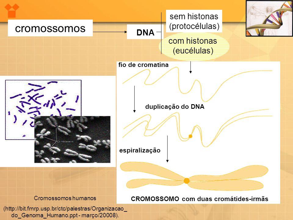 cromossomos DNA sem histonas (protocélulas) com histonas (eucélulas) fio de cromatina duplicação do DNA espiralização CROMOSSOMO com duas cromátides-i
