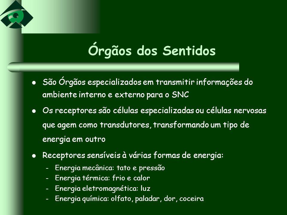 Órgãos dos Sentidos São Órgãos especializados em transmitir informações do ambiente interno e externo para o SNC Os receptores são células especializa