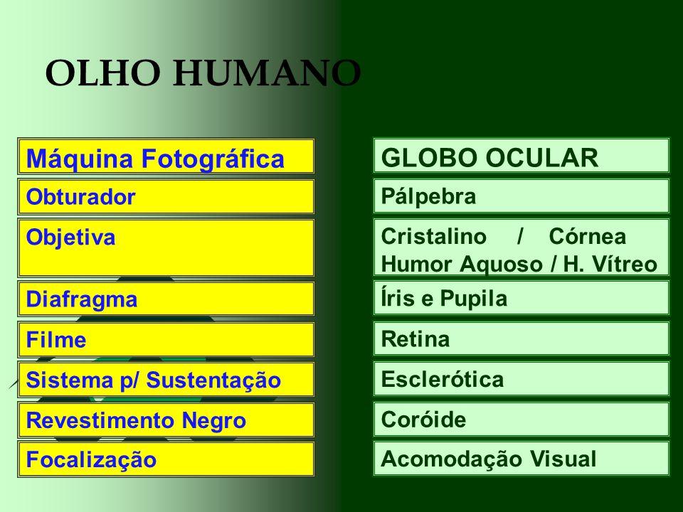 OLHO HUMANO GLOBO OCULAR Pálpebra Cristalino / Córnea Humor Aquoso / H. Vítreo Íris e Pupila Retina Esclerótica Coróide Acomodação Visual Máquina Foto