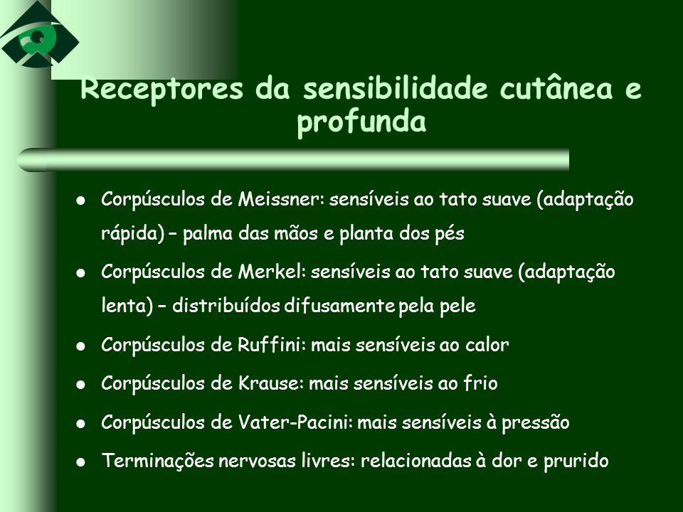 Receptores da sensibilidade cutânea e profunda Corpúsculos de Meissner: sensíveis ao tato suave (adaptação rápida) – palma das mãos e planta dos pés C