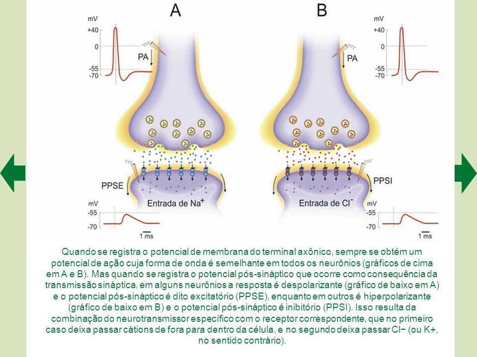 O neurotransmissor liberado na fenda sináptica difunde-se até os receptores situados na membrana pós-sináptica (A).