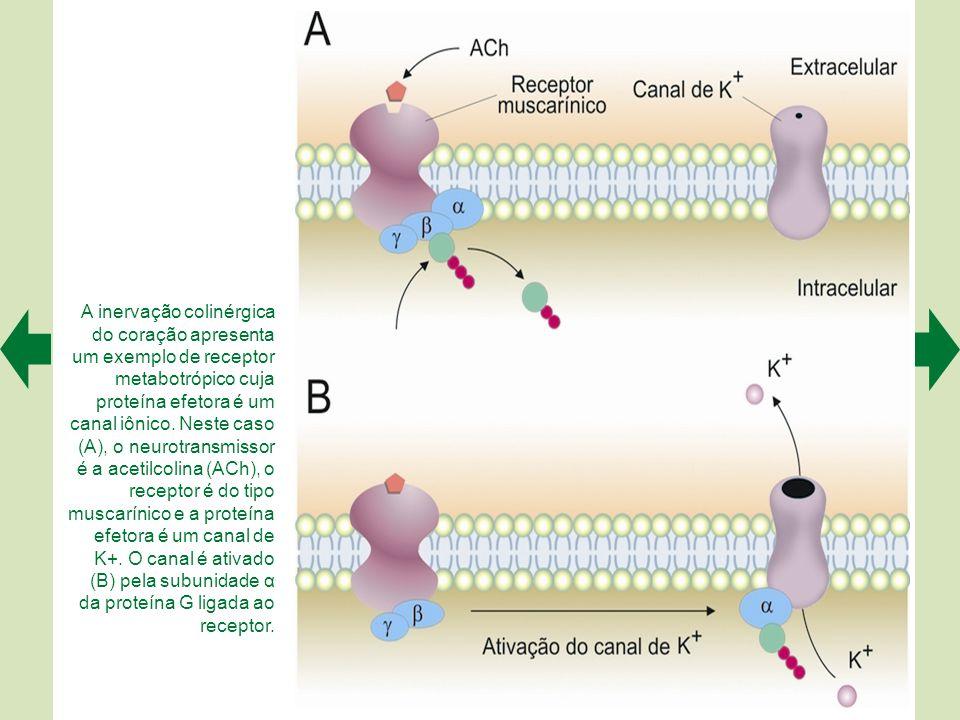 A inervação colinérgica do coração apresenta um exemplo de receptor metabotrópico cuja proteína efetora é um canal iônico.