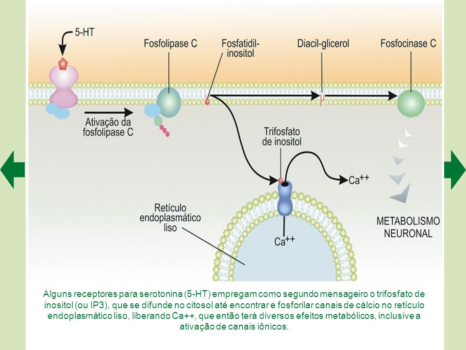 Alguns receptores para serotonina (5-HT) empregam como segundo mensageiro o trifosfato de inositol (ou IP3), que se difunde no citosol até encontrar e fosforilar canais de cálcio no retículo endoplasmático liso, liberando Ca++, que então terá diversos efeitos metabólicos, inclusive a ativação de canais iônicos.