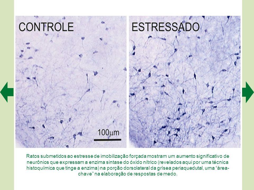 Ratos submetidos ao estresse de imobilização forçada mostram um aumento significativo de neurônios que expressam a enzima sintase do óxido nítrico (revelados aqui por uma técnica histoquímica que tinge a enzima) na porção dorsolateral da grísea periaquedutal, uma área- chave na elaboração de respostas de medo.