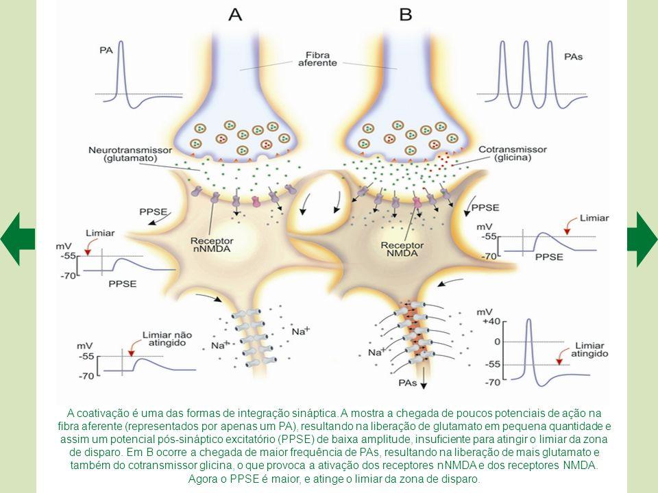 A coativação é uma das formas de integração sináptica.