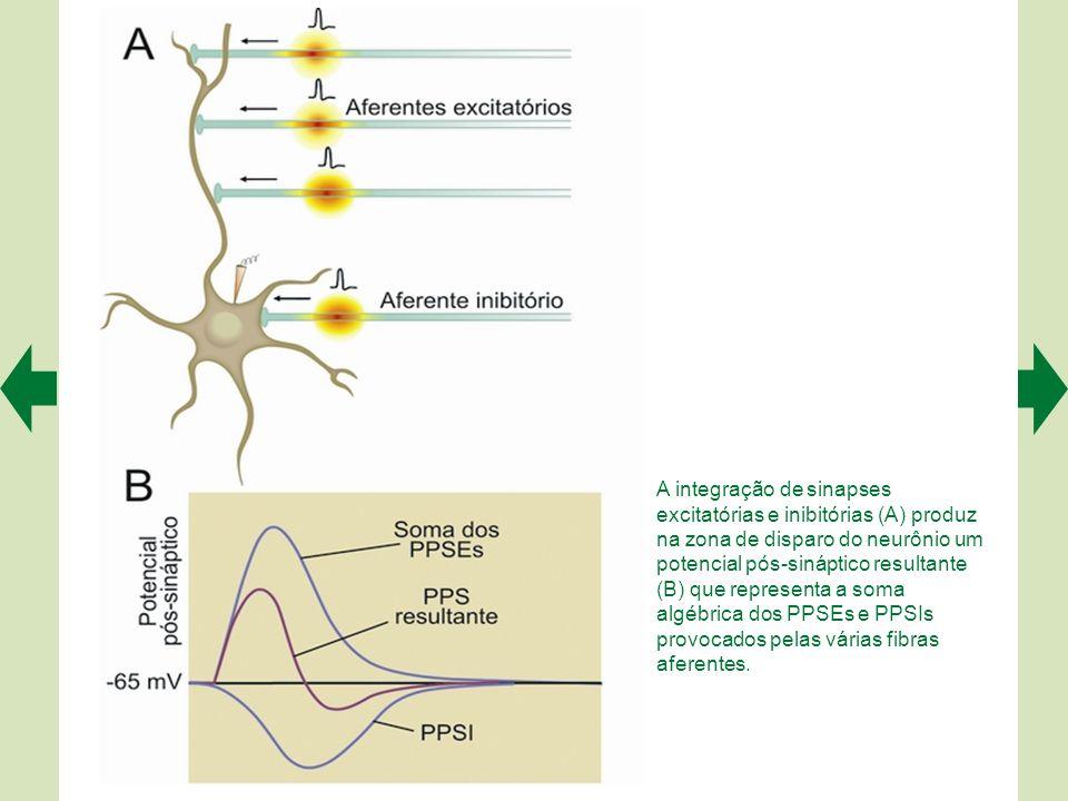 A integração de sinapses excitatórias e inibitórias (A) produz na zona de disparo do neurônio um potencial pós-sináptico resultante (B) que representa a soma algébrica dos PPSEs e PPSIs provocados pelas várias fibras aferentes.