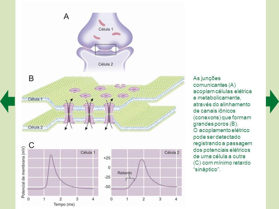  A primeira demonstração da existência das sinapses foi feita em 1959, utilizando o microscópio eletrônico.