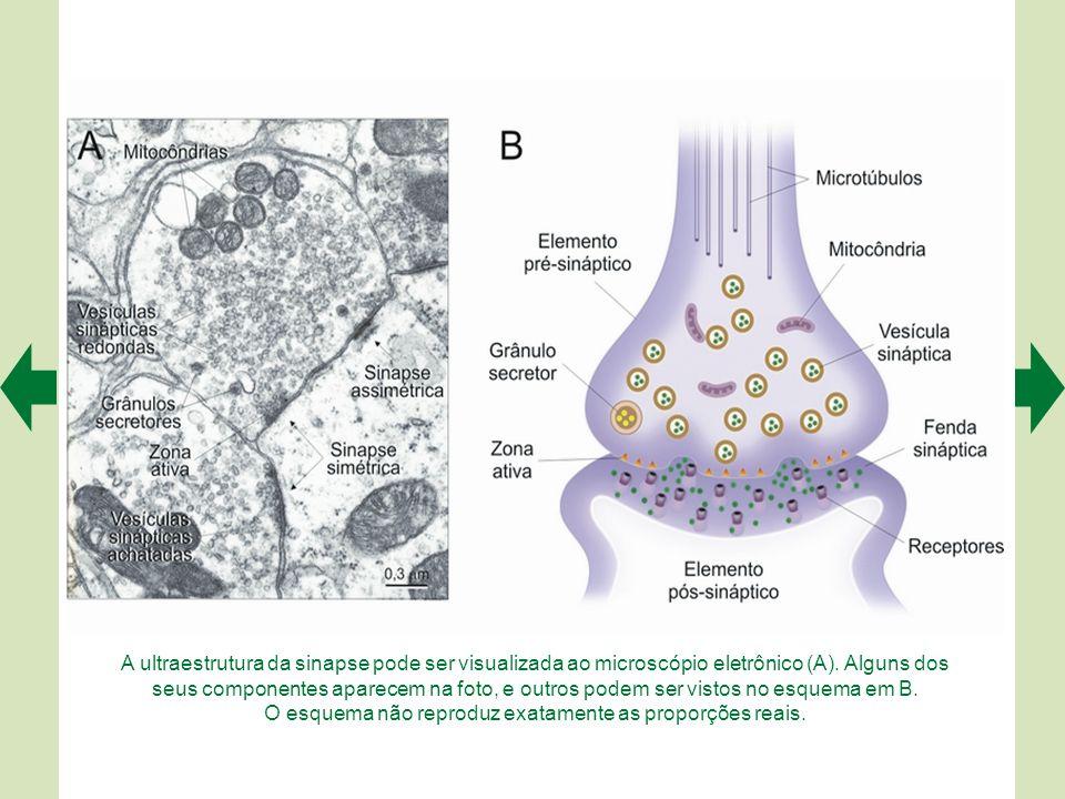 A ultraestrutura da sinapse pode ser visualizada ao microscópio eletrônico (A).