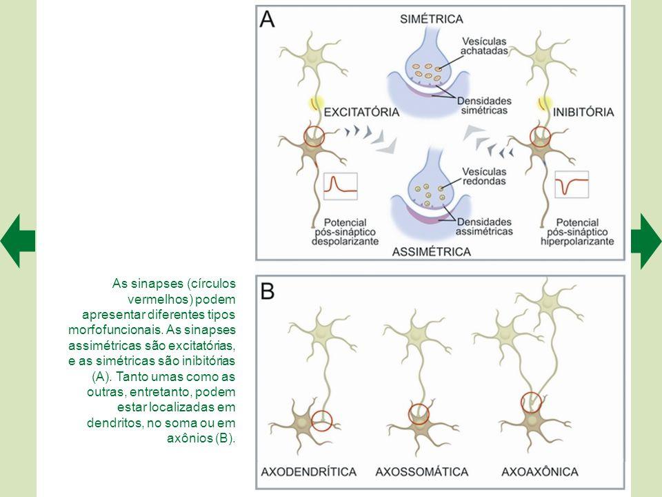 As sinapses (círculos vermelhos) podem apresentar diferentes tipos morfofuncionais.