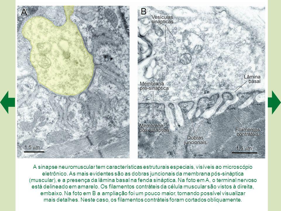 A sinapse neuromuscular tem características estruturais especiais, visíveis ao microscópio eletrônico.
