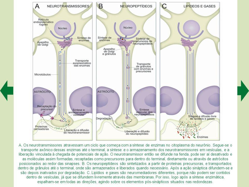 A sinapse neuromuscular tem características estruturais especiais, visíveis ao microscópio eletrônico. As mais evidentes são as dobras juncionais da m