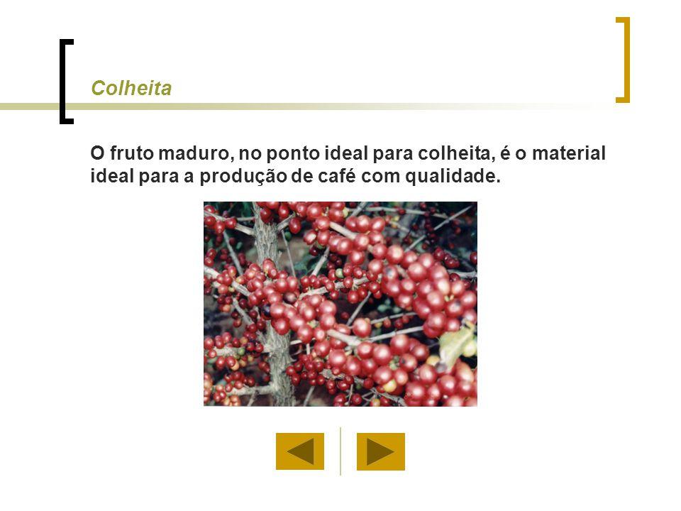 Colheita O fruto maduro, no ponto ideal para colheita, é o material ideal para a produção de café com qualidade.