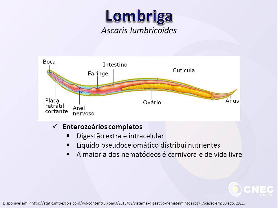 Disponível em:. Acesso em: 03 ago. 2011. Ascaris lumbricoides Enterozoários completos Digestão extra e intracelular Líquido pseudocelomático distribui