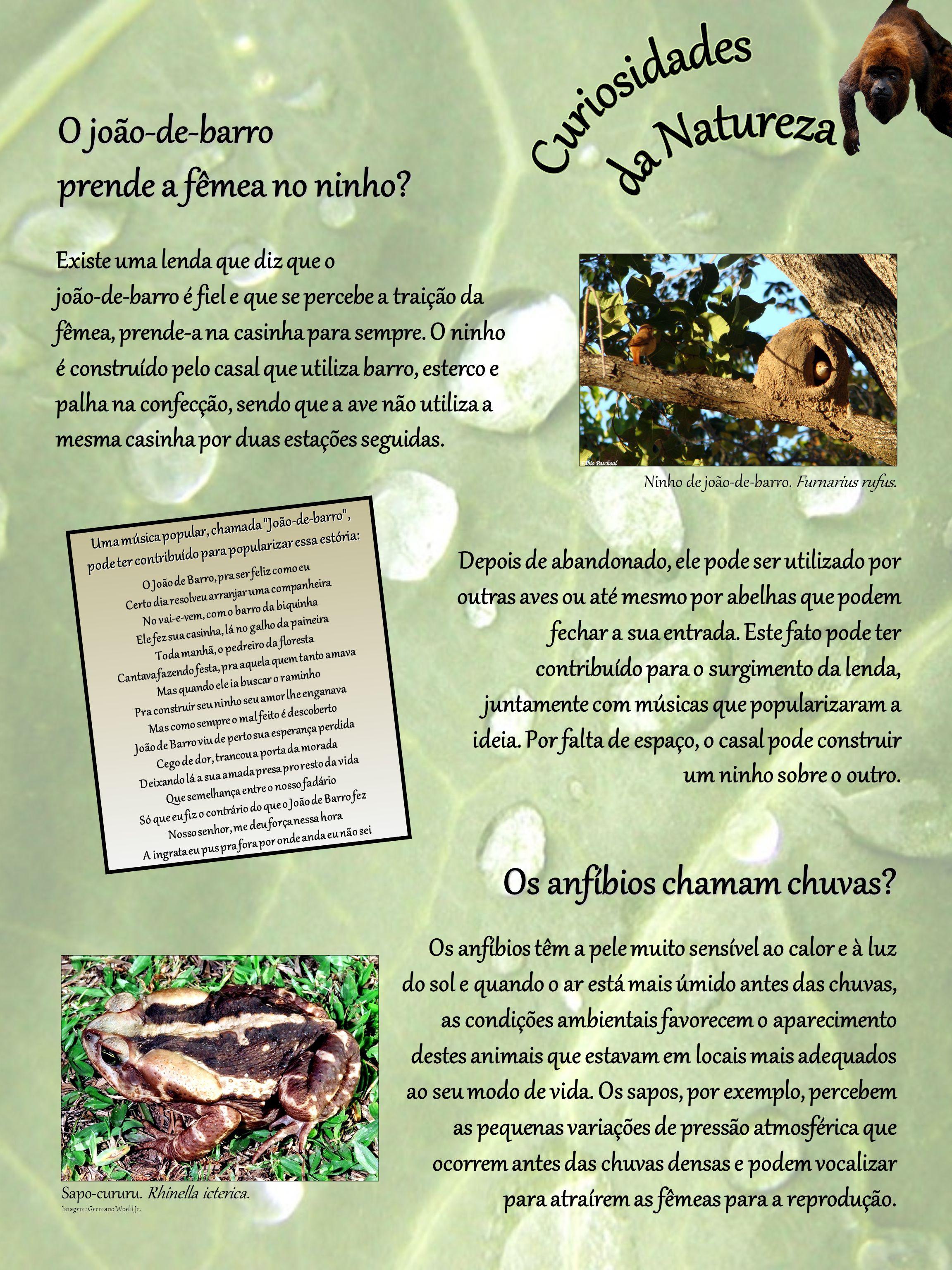O joão-de-barro prende a fêmea no ninho? Depois de abandonado, ele pode ser utilizado por outras aves ou até mesmo por abelhas que podem fechar a sua