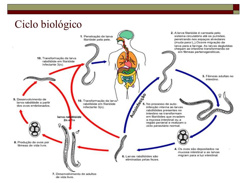 Patogenia e Sintomatologia Relacionada com a carga parasitária; Resposta imune efetiva = combate ao parasita Auto-infecção (interna ou externa) = alimenta o ciclo = persistência do parasita por vários anos; comprometimento de múltiplos órgãos; hiperinfecção por queda na imunidade.