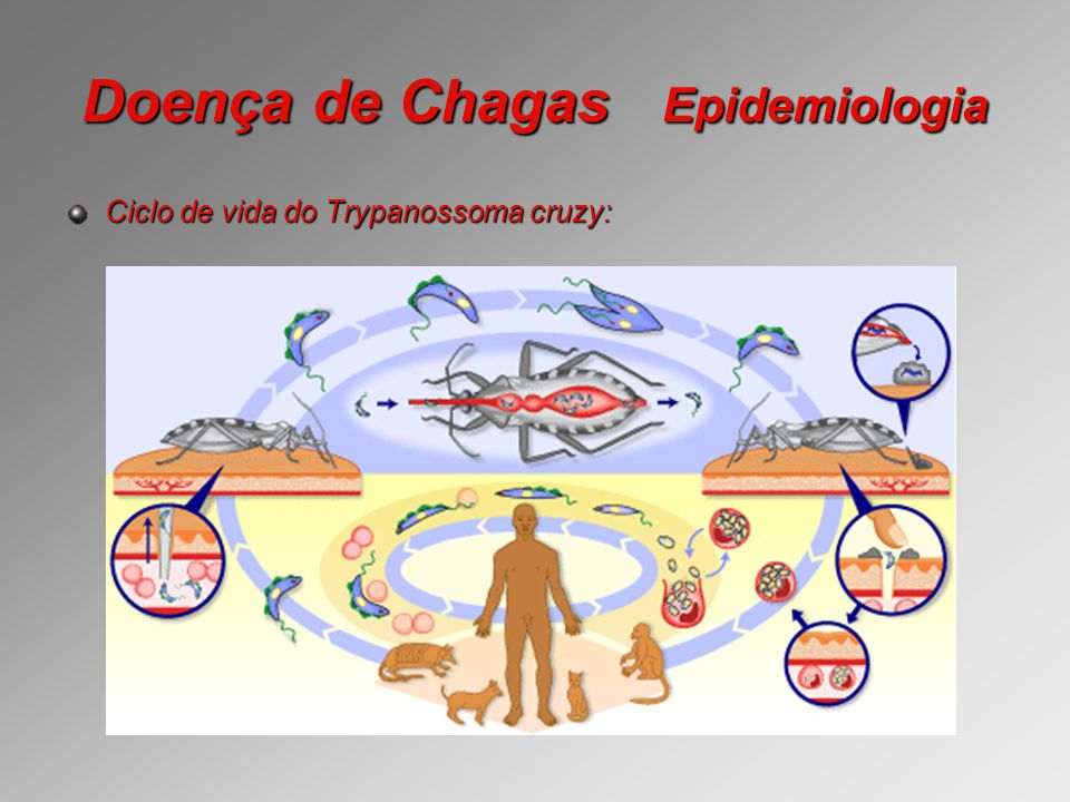 Doença de Chagas Epidemiologia Ciclo de vida do Trypanossoma cruzy: