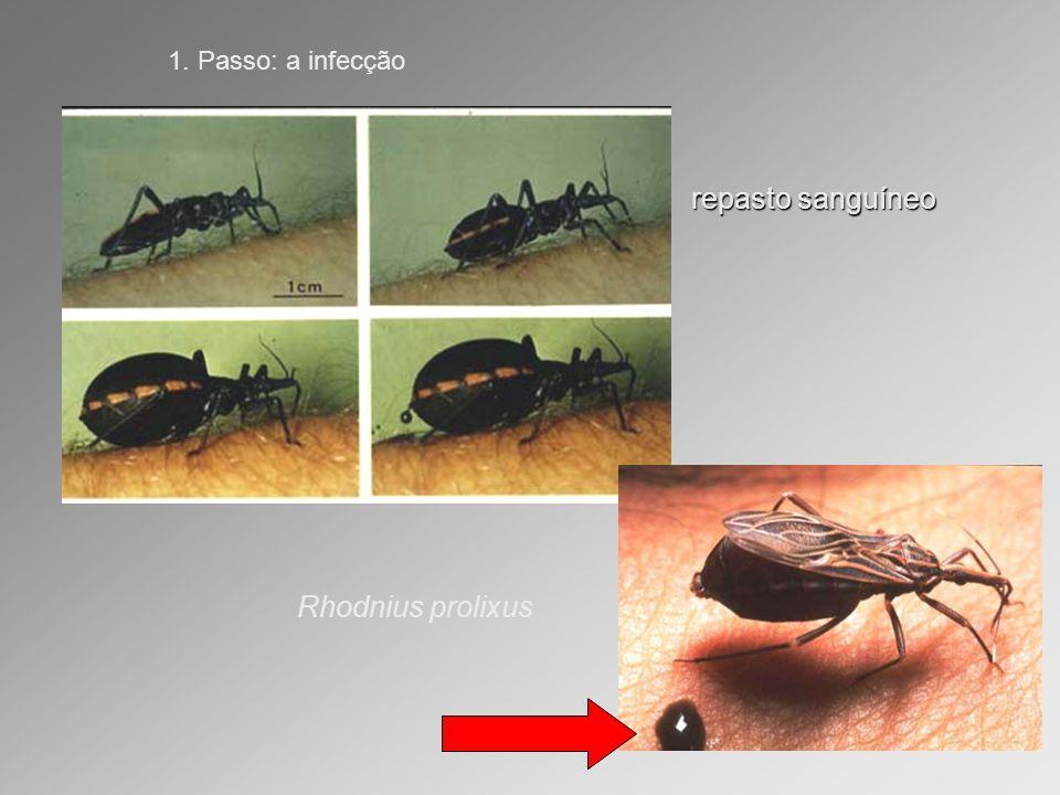 repasto sanguíneo 1. Passo: a infecção Rhodnius prolixus