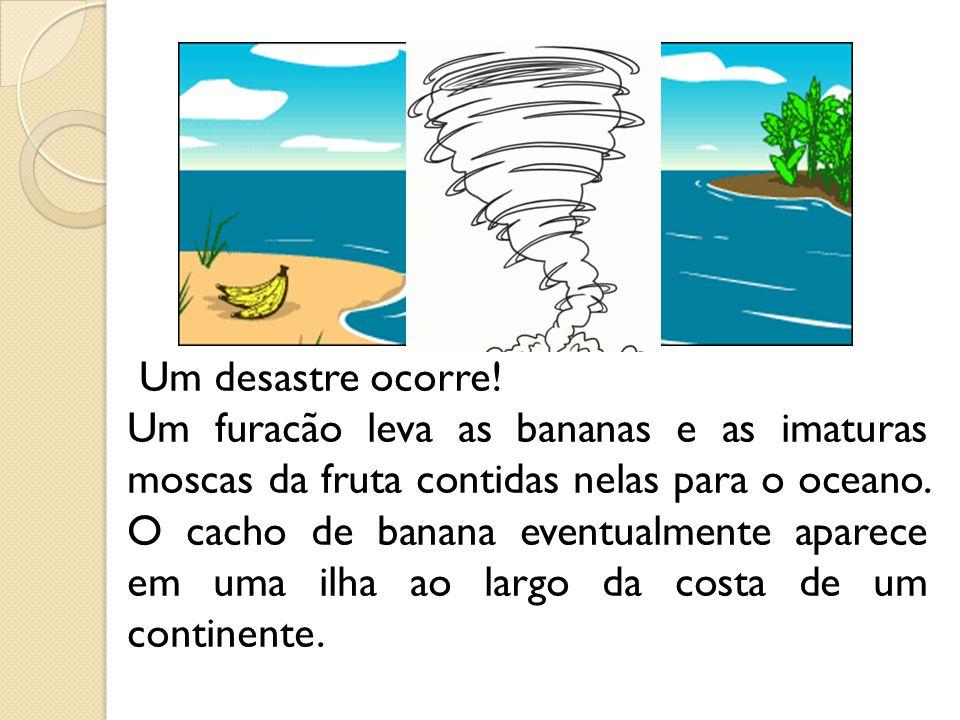 Um desastre ocorre! Um furacão leva as bananas e as imaturas moscas da fruta contidas nelas para o oceano. O cacho de banana eventualmente aparece em