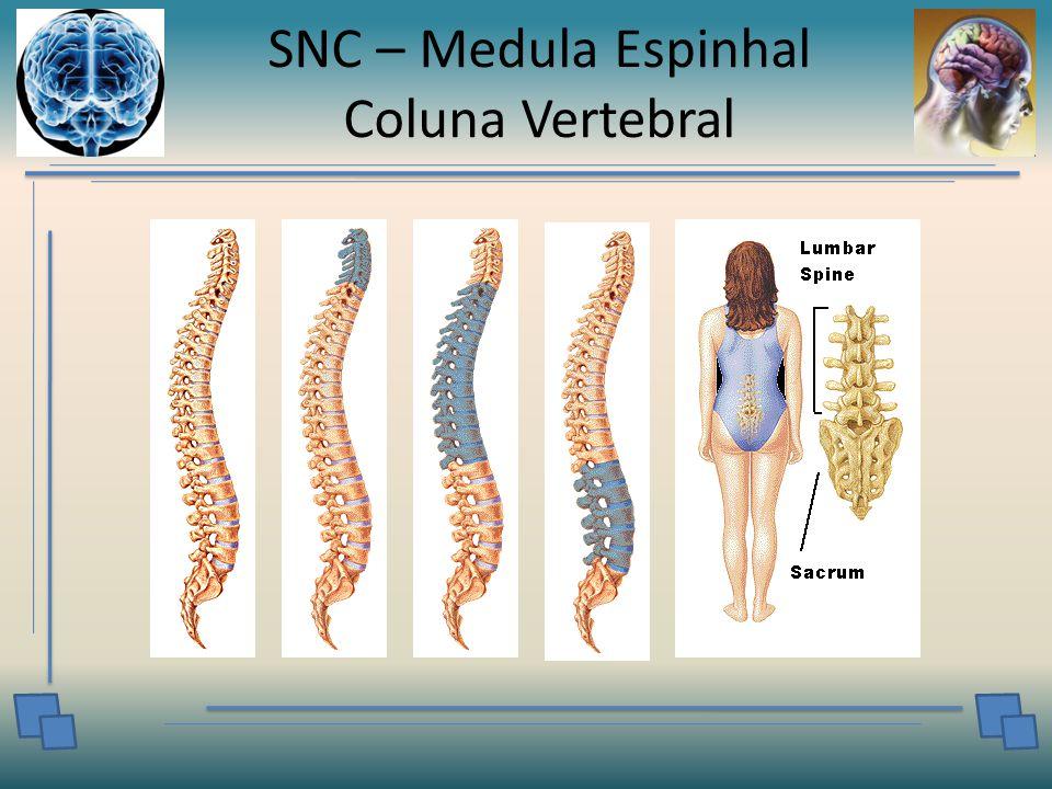 SNC – Medula Espinhal Coluna Vertebral
