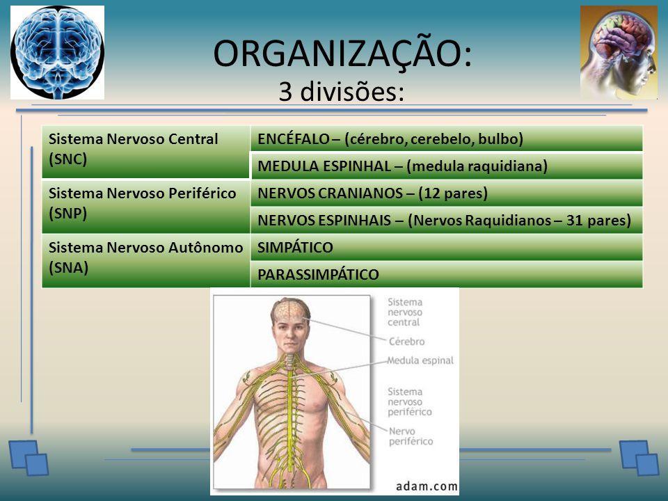 ORGANIZAÇÃO: 3 divisões: Sistema Nervoso Central (SNC) ENCÉFALO – (cérebro, cerebelo, bulbo) MEDULA ESPINHAL – (medula raquidiana) Sistema Nervoso Periférico (SNP) NERVOS CRANIANOS – (12 pares) NERVOS ESPINHAIS – (Nervos Raquidianos – 31 pares) Sistema Nervoso Autônomo (SNA) SIMPÁTICO PARASSIMPÁTICO
