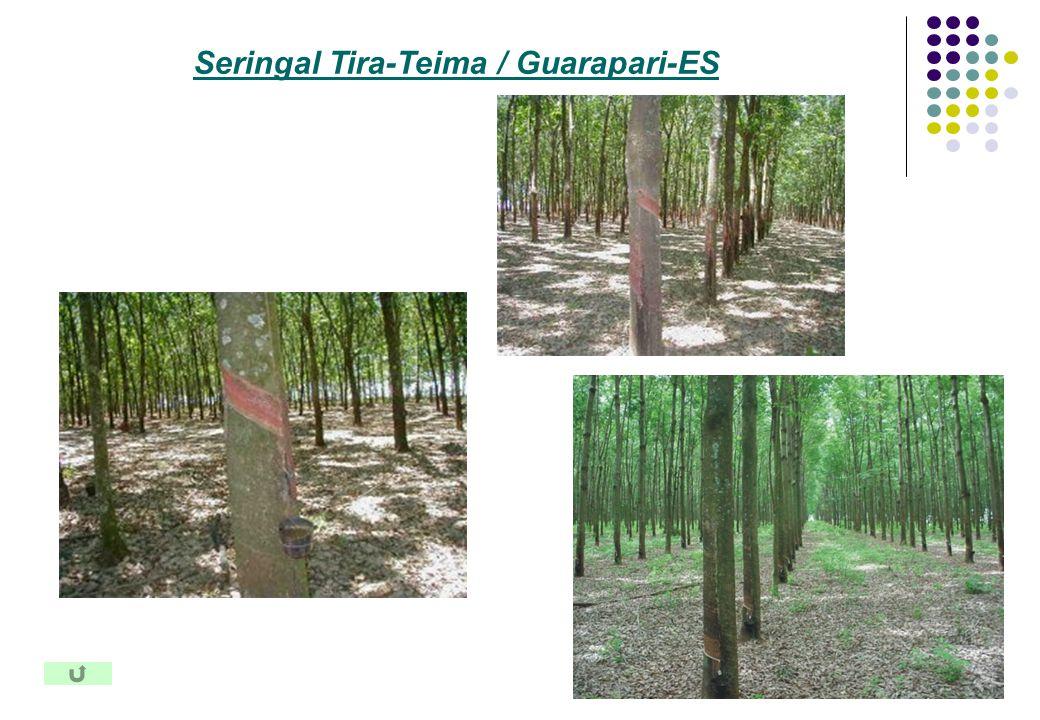 Seringal Tira-Teima / Guarapari-ES