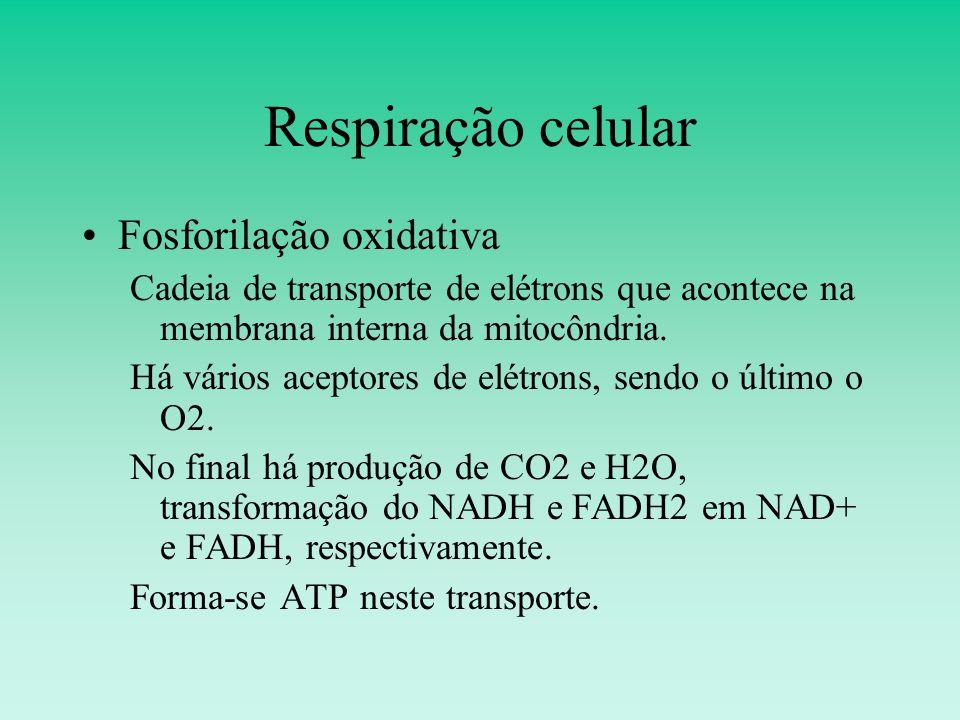 Respiração celular Fosforilação oxidativa Cadeia de transporte de elétrons que acontece na membrana interna da mitocôndria.