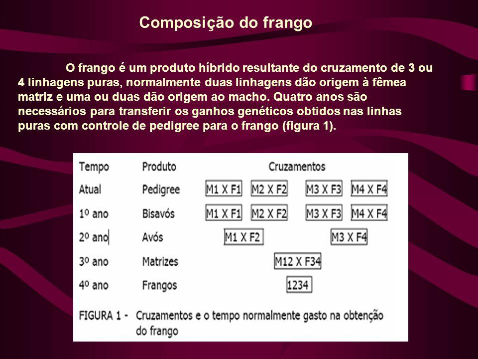 Composição do frango O frango é um produto híbrido resultante do cruzamento de 3 ou 4 linhagens puras, normalmente duas linhagens dão origem à fêmea matriz e uma ou duas dão origem ao macho.