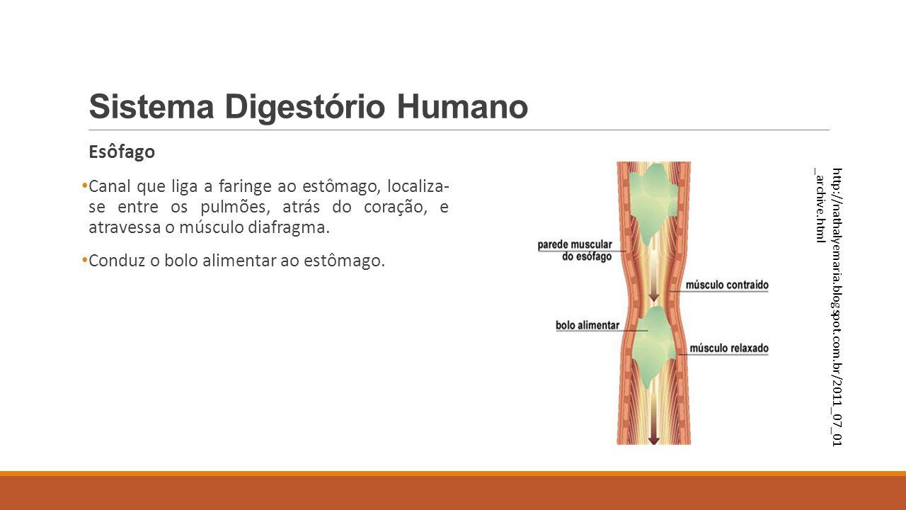 Sistema Digestório Humano Esôfago Canal que liga a faringe ao estômago, localiza- se entre os pulmões, atrás do coração, e atravessa o músculo diafrag