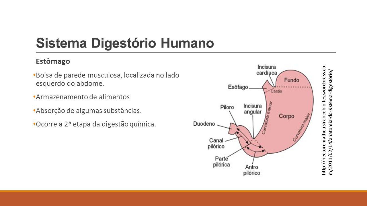 Sistema Digestório Humano Estômago Bolsa de parede musculosa, localizada no lado esquerdo do abdome. Armazenamento de alimentos Absorção de algumas su