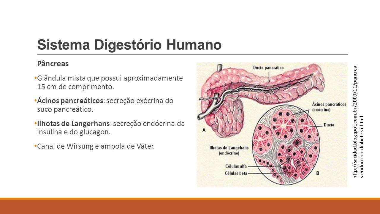Sistema Digestório Humano Pâncreas Glândula mista que possui aproximadamente 15 cm de comprimento. Ácinos pancreáticos: secreção exócrina do suco panc