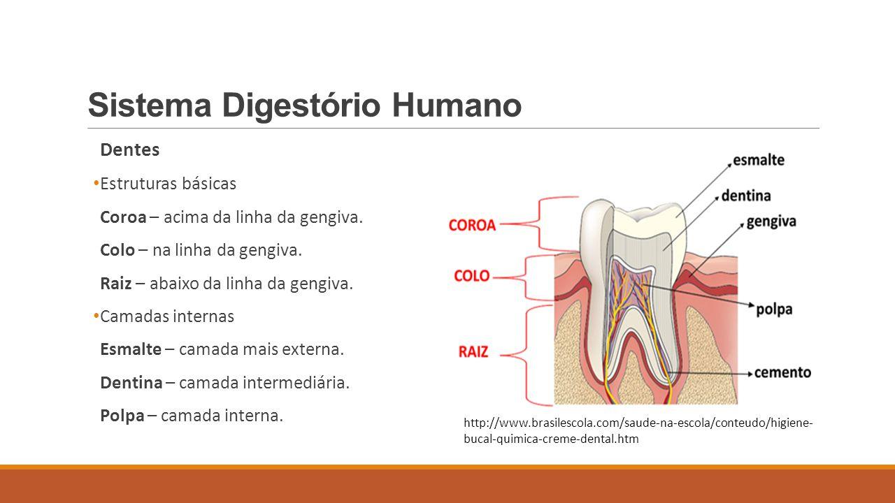 Sistema Digestório Humano Dentes Difiodonte e heterodonte Decídua ou de leite – 20 dentes 8 incisivos - 4 caninos - 8 molares Permanente – 32 dentes 8 incisivos - 4 caninos - 8 pré- molares - 12 molares http://lorenafelipebioifes.wordpress.com/2011/02/13/