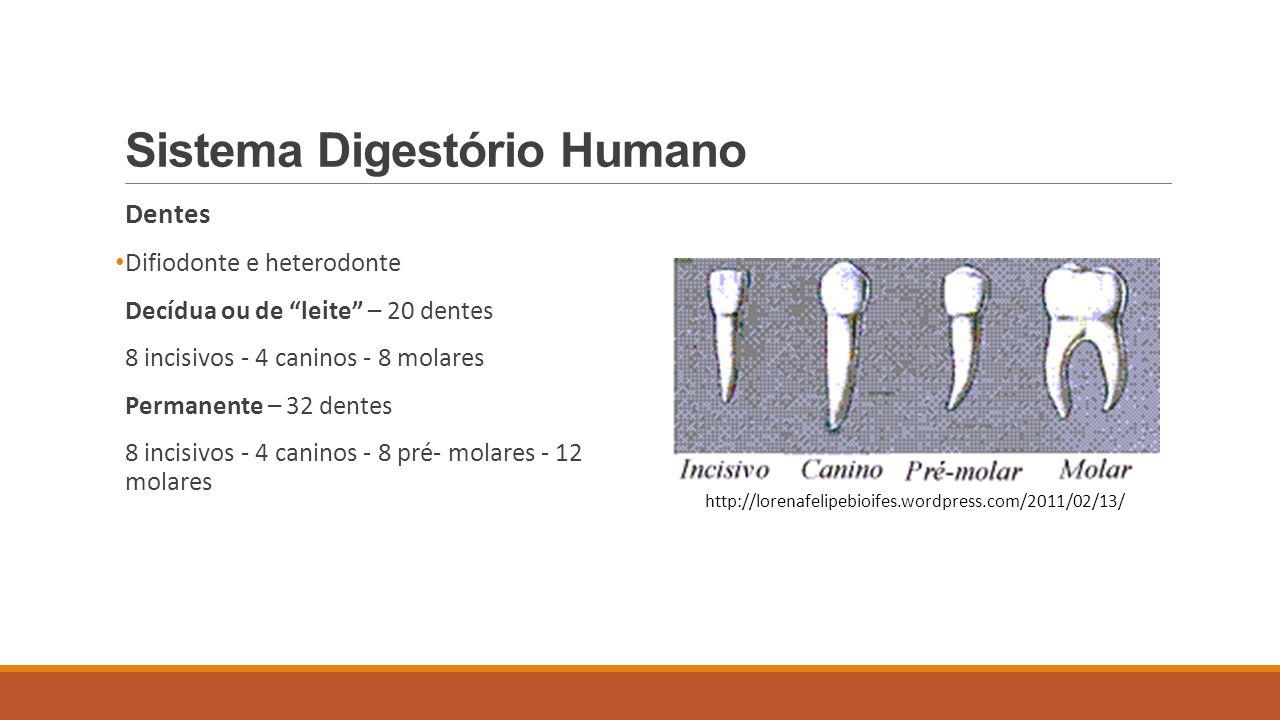 Sistema Digestório Humano Dentes Difiodonte e heterodonte Decídua ou de leite – 20 dentes 8 incisivos - 4 caninos - 8 molares Permanente – 32 dentes 8