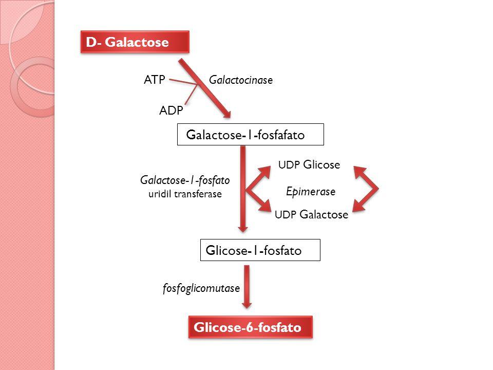 Galactose-1-fosfafato D- Galactose Galactocinase Galactose-1-fosfato uridil transferase fosfoglicomutase Glicose-1-fosfato Glicose-6-fosfato UDP Glicose UDP Galactose Epimerase ATP ADP