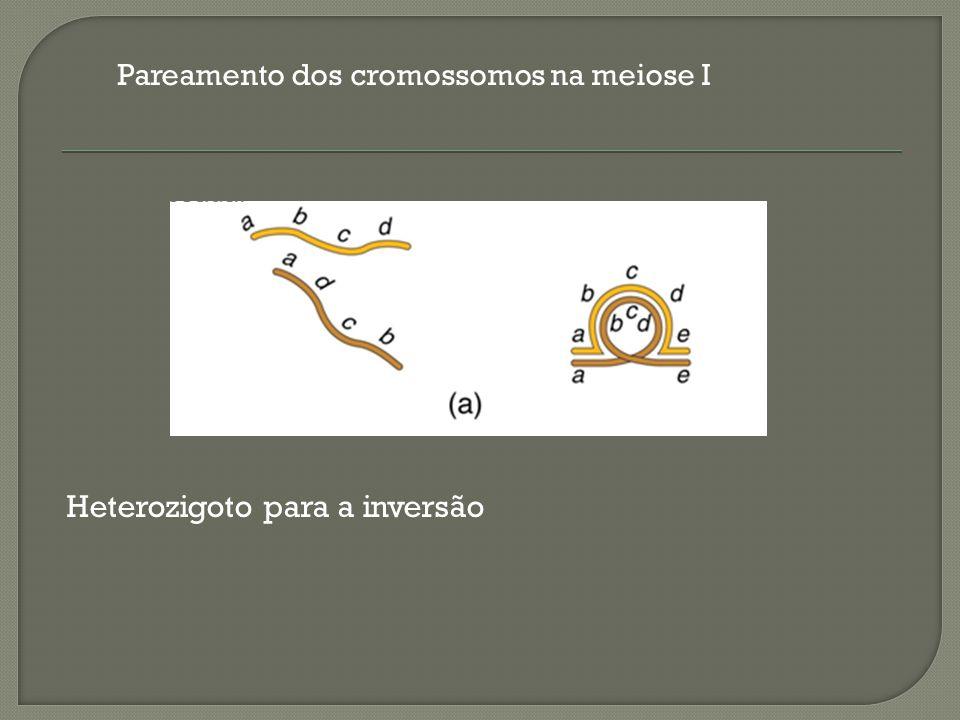 Pareamento dos cromossomos na meiose I Heterozigoto para a inversão